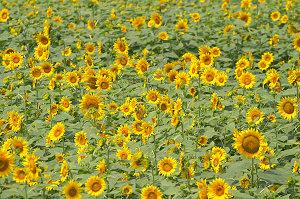 広大な花畑全体像