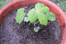 アブチロン:定植