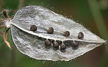 アブチロンの種子