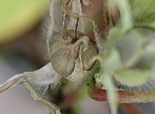 アサガオの種子