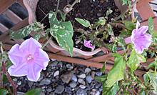 アサガオ:秋の花