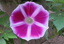 アサガオ:開花 2013