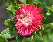 ピンクがかった赤色の花