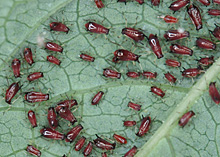 キキョウの葉裏に寄生したヒゲナガアブラムシ
