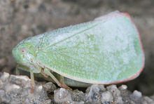 アオバハゴロモの成虫