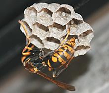 セグロアシナガバチの産卵