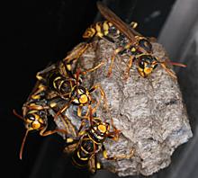 セグロアシナガバチの働きバチ 2012.06.17