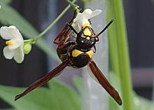 オオフタオビドロバチの成虫