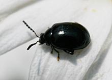 ルリマルノミハムシの成虫