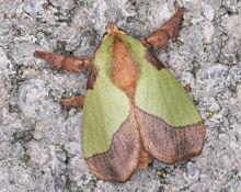 ヒロヘリアオイラガの成虫