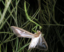 食事中のカマキリの幼虫