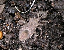 ホオズキカメムシの成虫