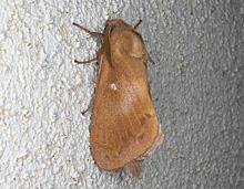 カレハガ科の成虫