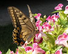 トレニアの花とキアゲハ