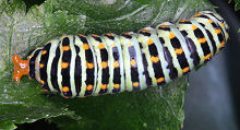 ミツバに寄生するキアゲハの幼虫