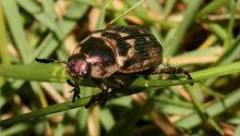高麗芝の上にいたセマダラコガネの成虫