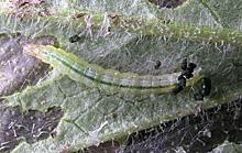 チャノコカクモンハマキの幼虫