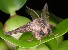 マイマイガのオス成虫