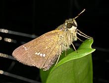 イチモンジセセリの成虫