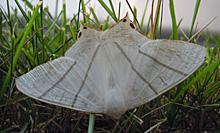 ウスキツバメエダシャクの成虫