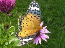タテハチョウの成虫