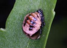 ナミテントウが蛹