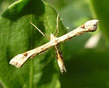 名前がわからなかった小さな蛾は多分、トリバガ