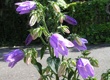 カンパニュラ:最初の花が咲きました