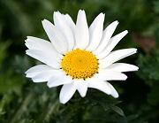 ノースポールの花