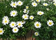 クリサンセマム:開花最盛期