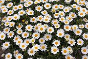 クリサンセマム:たくさんたくさん咲きました