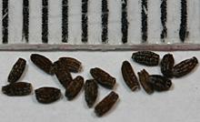 サイネリアの種子