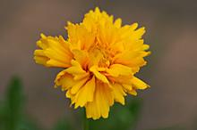 コレオプシス:最初の花の開花