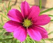 コスモス:赤い花の開花