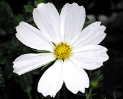 コスモス:白い花の開花