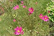 コスモス:夏の花は小さい