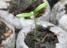 コスモス:子葉の展開が始まりました