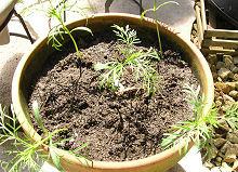 コスモスの定植をしました