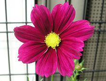 コスモス ドワーフセンセーション 茜色の花