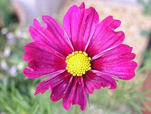 コスモス ドワーフセンセーション 濃い赤色の花