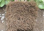 植替え時の根の様子