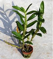 デンドロビューム:新芽が30cmほどに伸びた