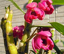 デンドロビューム:開花 2011