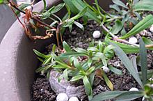 ダイアンサス:徒長した芽の処理