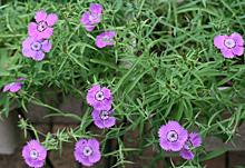 ダイアンサス:花が次々と咲き始めた