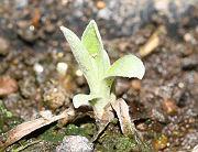 エーデルワイス:新芽の生長