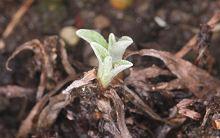 エーデルワイス:冬枯れた株元から新芽がのぞき始めた