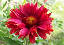 ガイラルディア:開ききった花