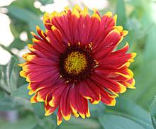ガイラルディア:紅色の花弁に黄色の縁取りのある花