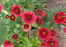 次々と開花するガイラルディア